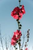 Roses trémière rouges et fond de ciel bleu Images libres de droits