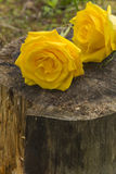 Roses on Tree Stump Royalty Free Stock Photography