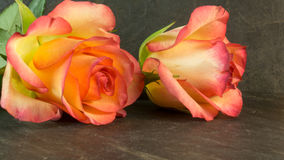 Roses in two colors Stock Images