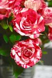 Two colors Red and white roses Stock Images