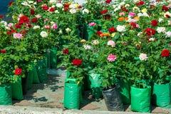 roses un buisson ou un arbuste épineux qui soutiennent typiquement rouge, rose, y Image stock