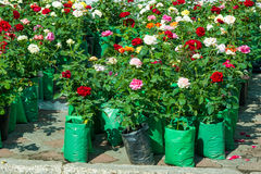 roses un buisson ou un arbuste épineux qui soutiennent typiquement rouge, rose, y Images stock