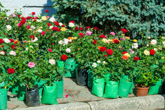 roses un buisson ou un arbuste épineux qui soutiennent typiquement rouge, rose, y Photographie stock libre de droits