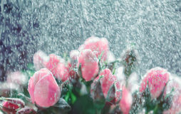 Roses under rain splashes out of focus Royalty Free Stock Photography