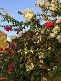 Roses under sun Stock Images