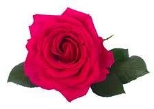 Roses une roses foncées Photographie stock libre de droits