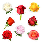Roses vector illustration Stock Image