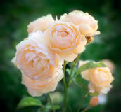 Roses Stock Photos