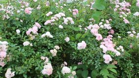 Roses vetinia. Image was shot in jambol stock video footage