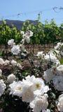 vineyard and roses Royalty Free Stock Photo