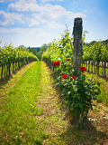 Roses in the vineyard Stock Photos