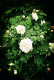 Roses Royalty Free Stock Photo