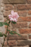 Roses on the wall Stock Image
