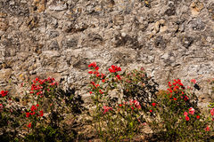 Roses and wall Royalty Free Stock Photography