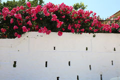 Roses on the wall. Pink roses on a white wall royalty free stock photos