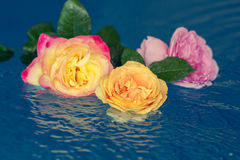 Roses in a water Royalty Free Stock Images