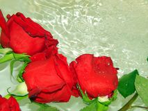Roses on the water Royalty Free Stock Photo