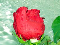 Roses on the water Royalty Free Stock Photography