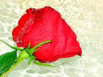 Roses on the water. Close up Royalty Free Stock Photo