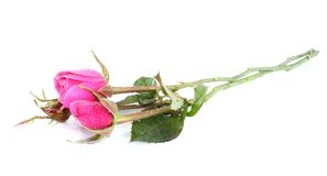 Roses with water drops Stock Photography