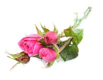 Roses with water drops Stock Photos
