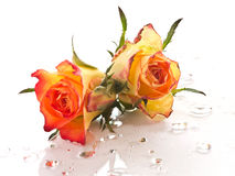 Roses. On water drops against a white background Stock Photography
