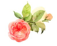 Roses Watercolor Flowers Illustration Hand Painted Stock Images