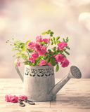 Roses In Watering Can Royalty Free Stock Images