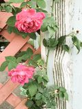 Roses and weathered wood Royalty Free Stock Photo