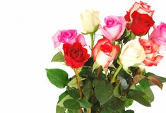 Roses on the white. Royalty Free Stock Image