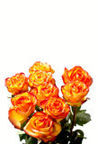 Roses on white Royalty Free Stock Images