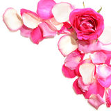 Roses on a white background. Pink roses with petals on a white background Stock Image