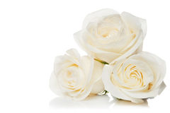 Roses on a white background Royalty Free Stock Photos