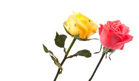 Roses on white background Stock Images