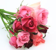 Roses in a white background Royalty Free Stock Photo