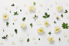 Roses on white background Royalty Free Stock Image