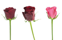 Roses in a white background Royalty Free Stock Photography
