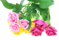 Roses in a white background Stock Photography