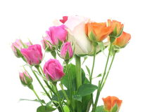 Roses in a white background Stock Image