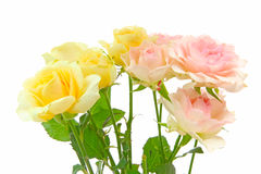 Roses in a white background Royalty Free Stock Images