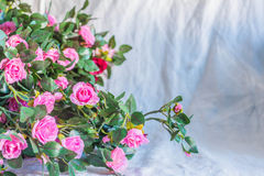 Roses on a white background. Royalty Free Stock Image