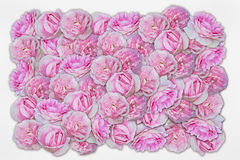 Roses on a white background Stock Photos