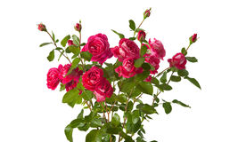 Roses on white background Royalty Free Stock Photography