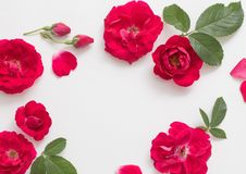 Roses on white background Stock Photography