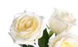 Roses on a white background Stock Photography