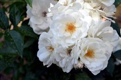 Roses white garden. White in the spring daylight In the garden, roses and petals opened. It is a joy of colors and fragrances stock photography