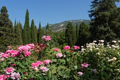 Roses of white and pink colors against the background of firs an. D cypresses on a cloudless day . For your design stock photos