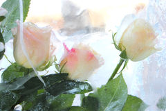 Roses. White roses in a transparent ice Royalty Free Stock Photos