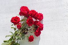 Roses on a white wall Royalty Free Stock Photography