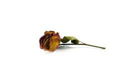 Roses wilt Stock Image